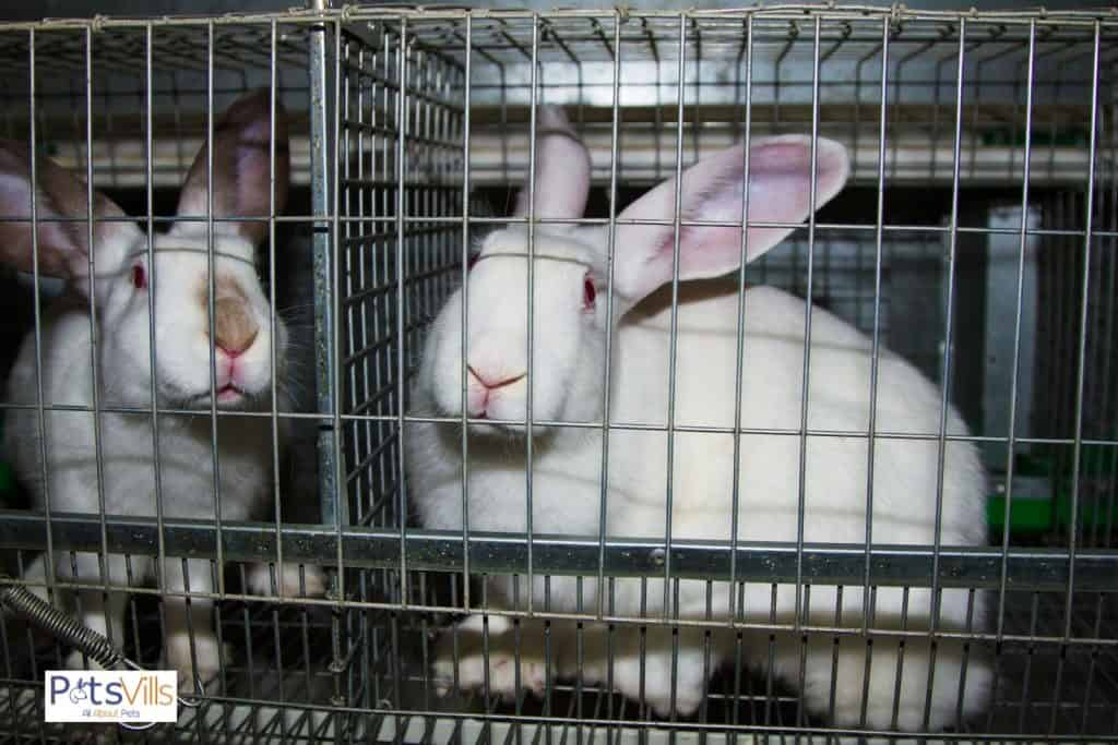 a continental giant rabbit in a cage
