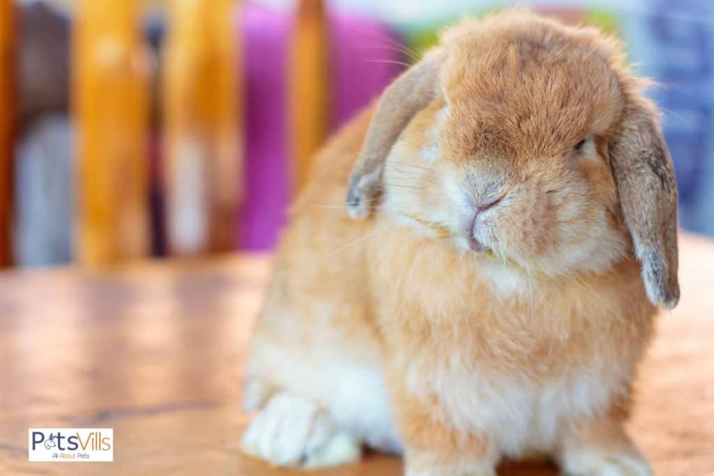 a light brown Holland lop rabbit