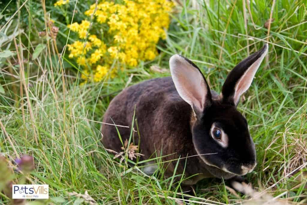 a mini rex rabbit at park