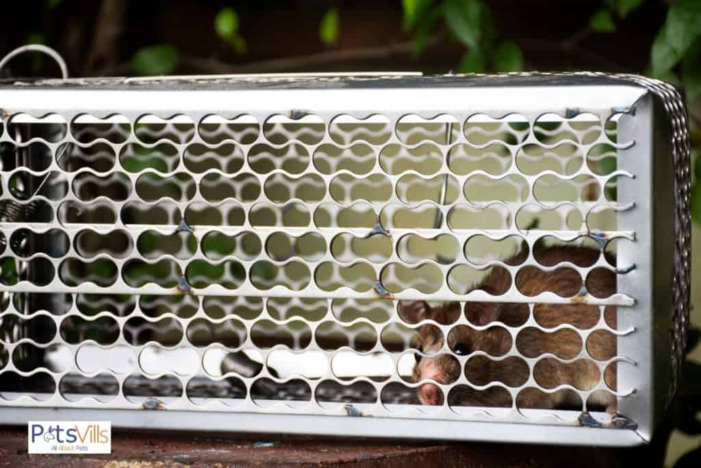 rex rat in his big cage