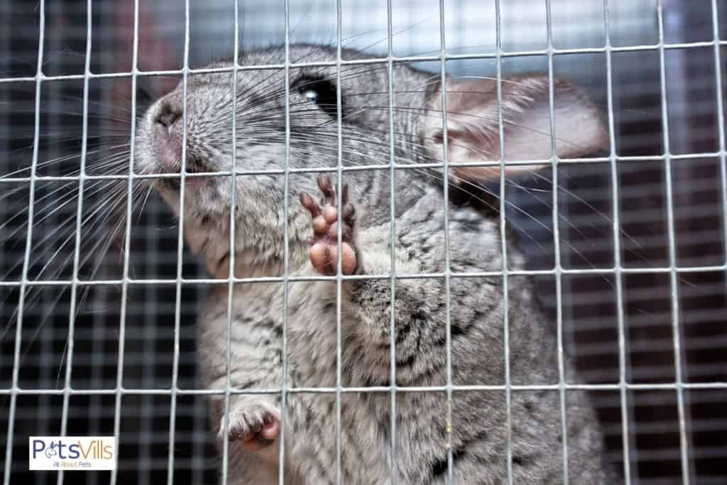 a chinchilla in a cage, why do chinchillas bite their cage?
