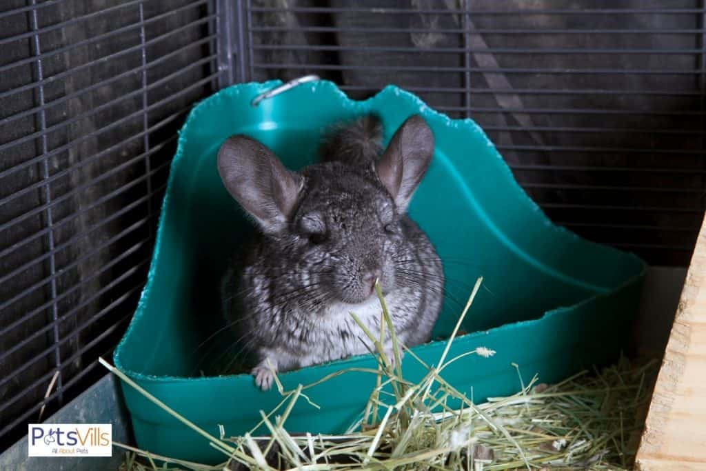 a chinchilla eating hay