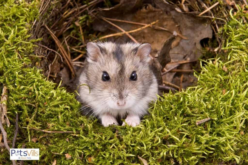 a hamster at home alone, how long can you leave a hamster alone