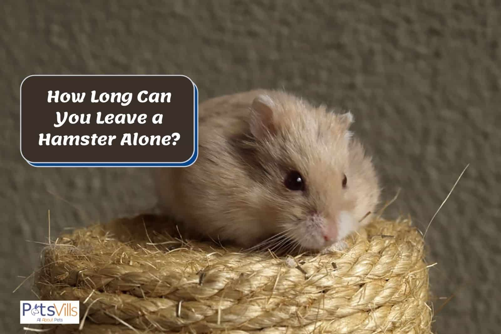 a hamster alone at home