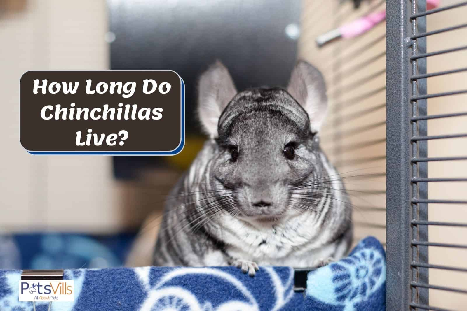 a chinchilla at home, how long do chinchillas live