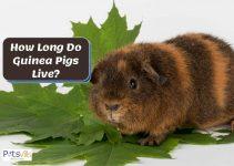 How Long Do Guinea Pigs Live? (Cavies Life Expectancy)