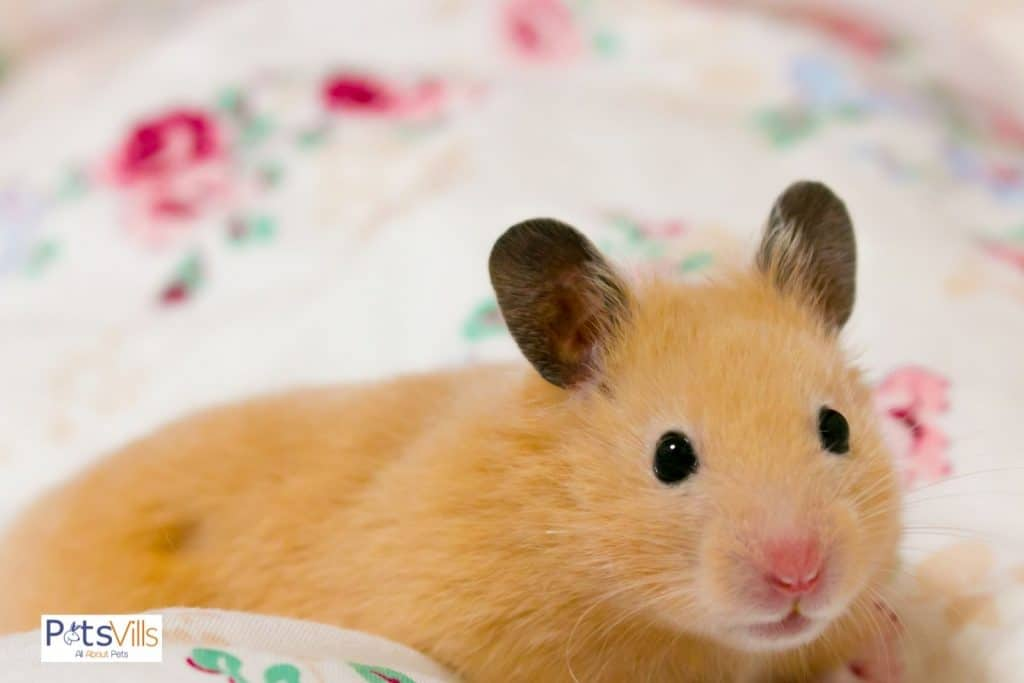 a cute female hamster, do female hamsters have periods