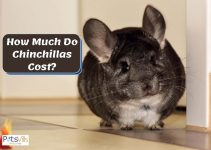 How Much Are Chinchillas? (Things to Know Before Buying)