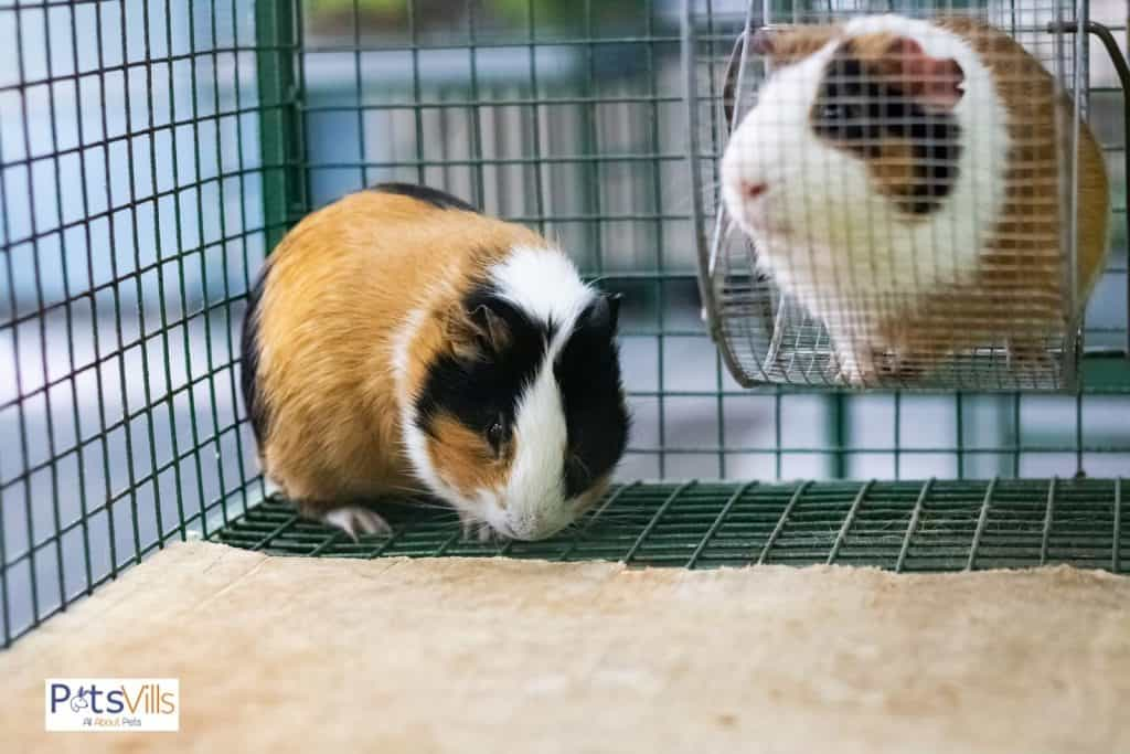 a pair of guinea pig in a large cage