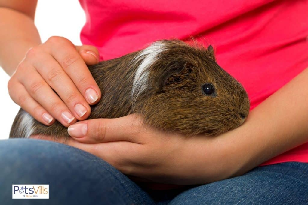 a men playing with his guinea pig to make him friendly