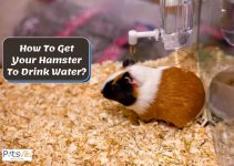 Why is My Hamster Not Drinking Water? What Should I Do?