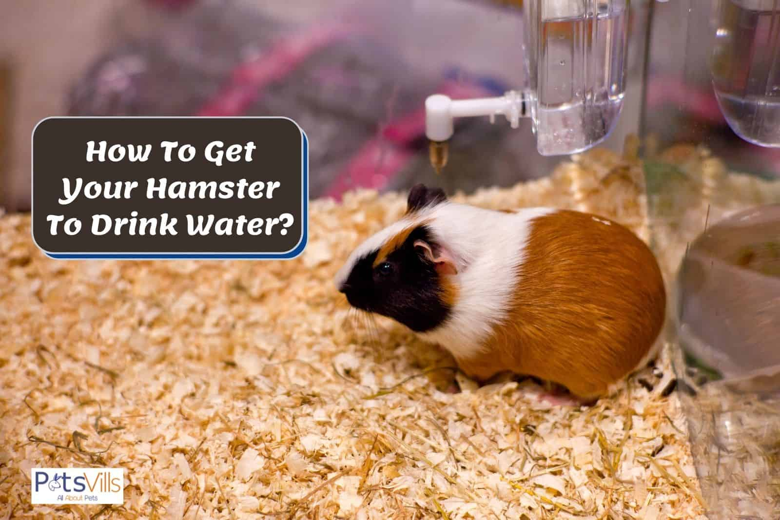 a hamster in cage with water faucet but How To Get Your Hamster To Drink Water