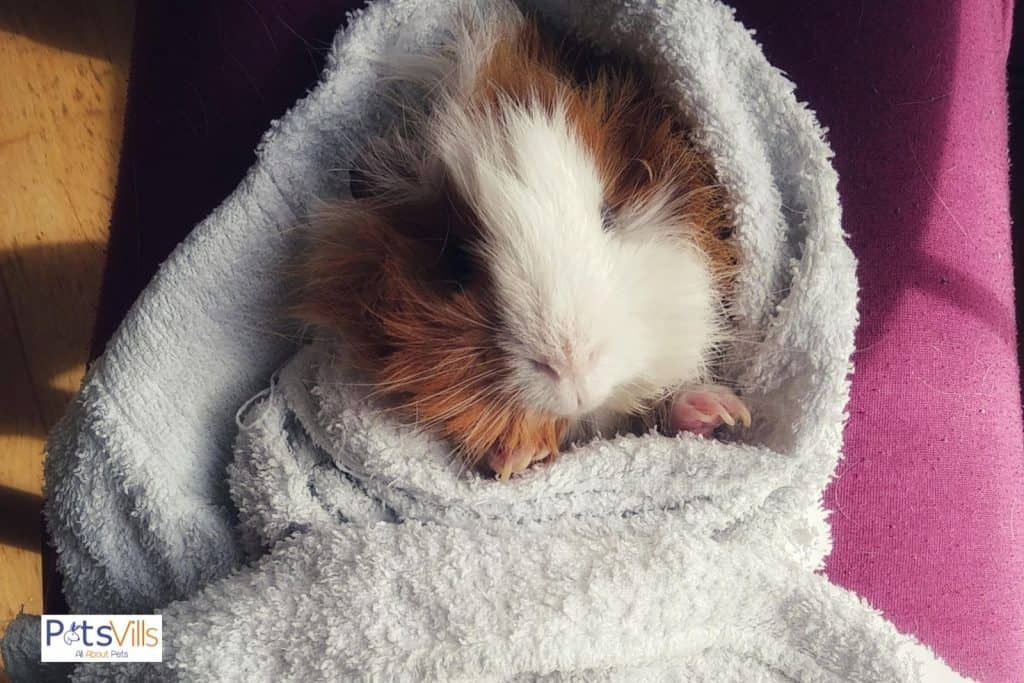 guinea pig is on rest after taking bath