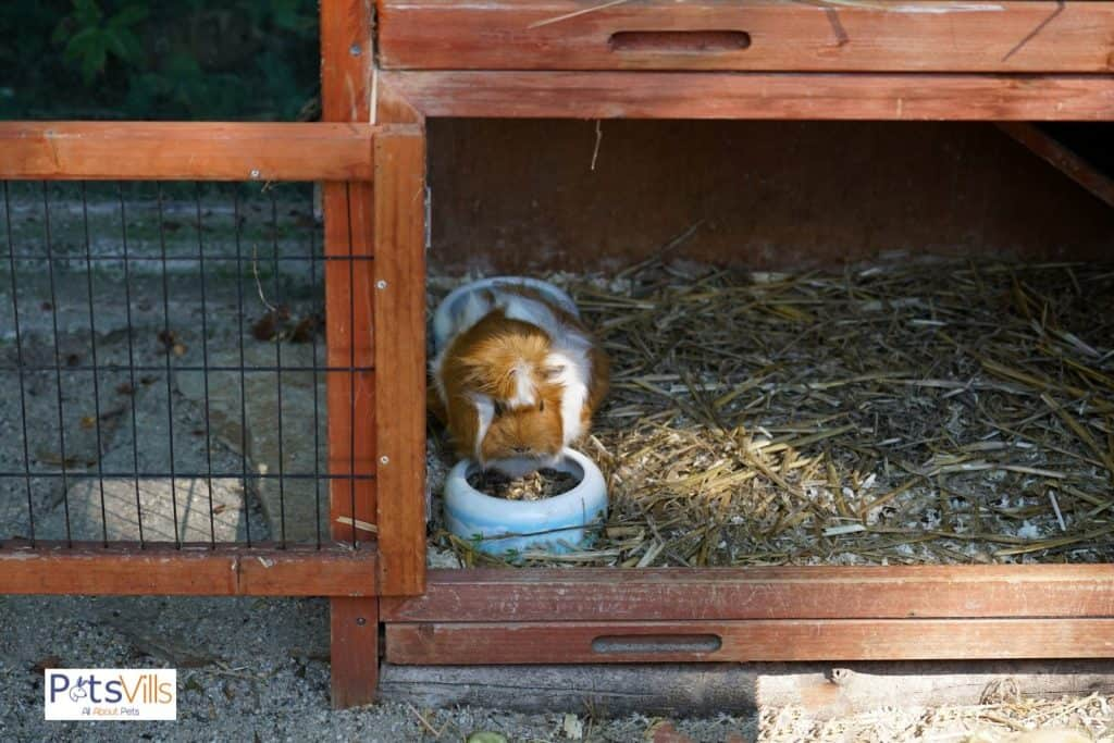 a guinea pig in an outdoor with hay extra bedding to keep it warm
