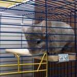 a chinchilla in a cage, do chinchilla smell