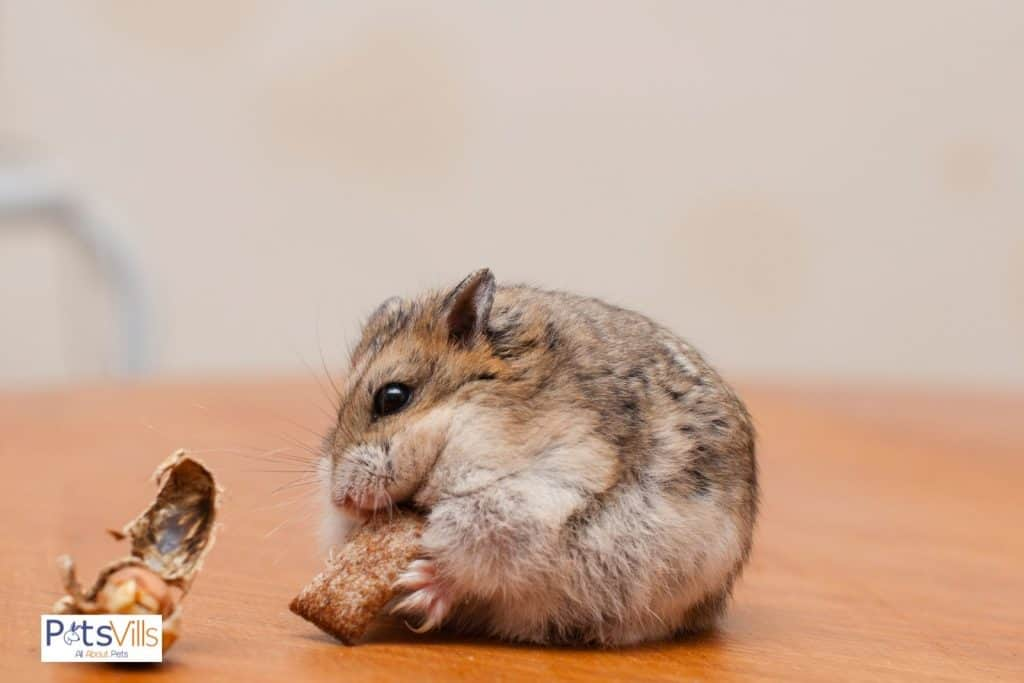a hamster trying new food to eat