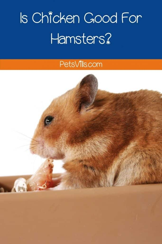 a hamster eating chicken, can hamsters eat chicken