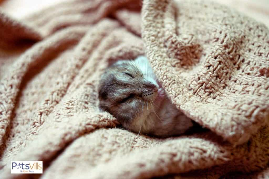 a hamster is at rest