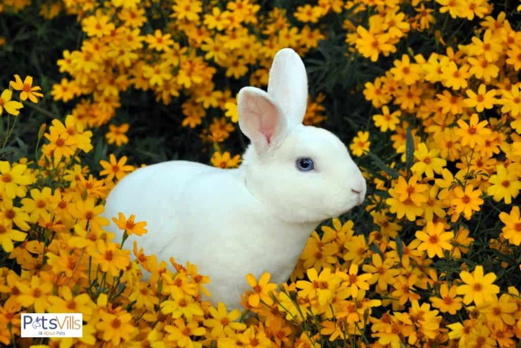 a cute mini rex rabbit