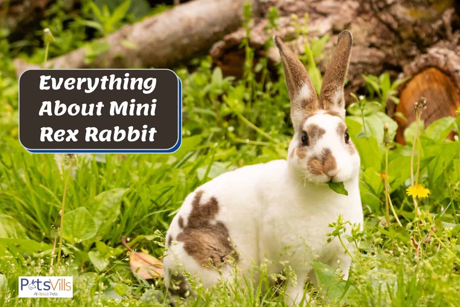 a very adorable Mini Rex rabbit eating leaves