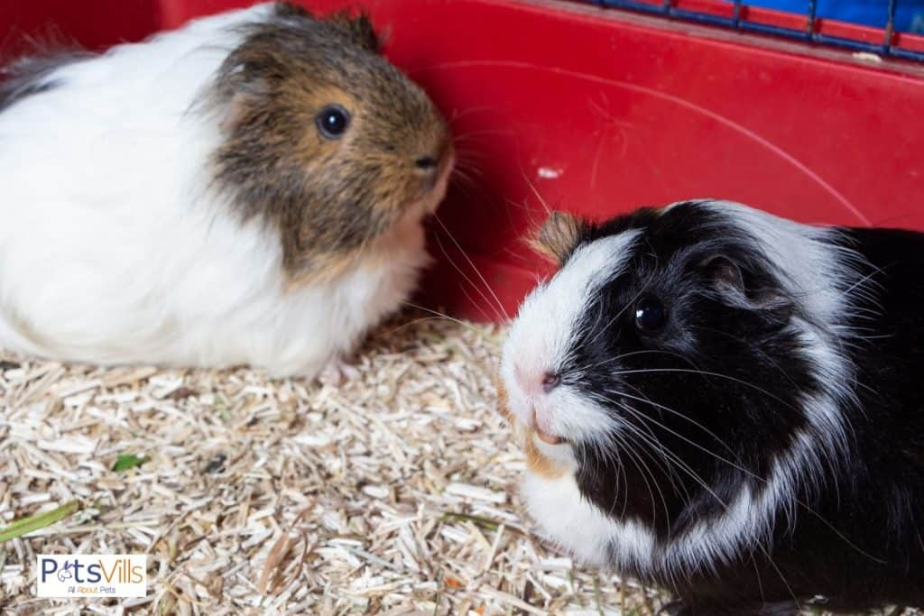 guinea pigs trying to be friendly, can guinea pigs live alone
