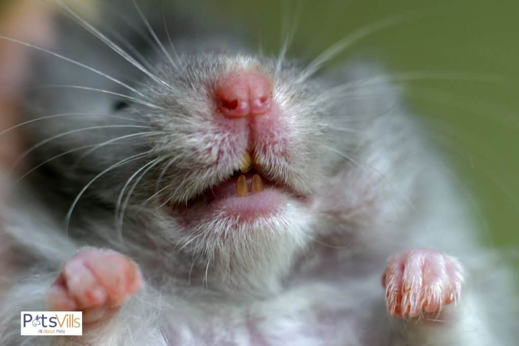 a hamster with overgrown teeth