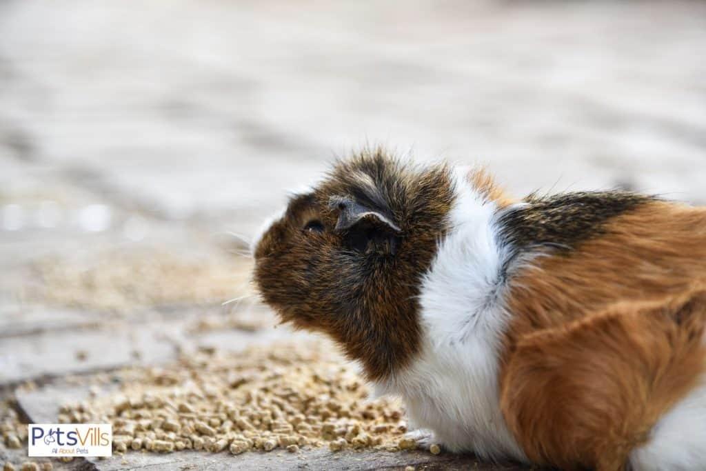 an oldest guinea pig