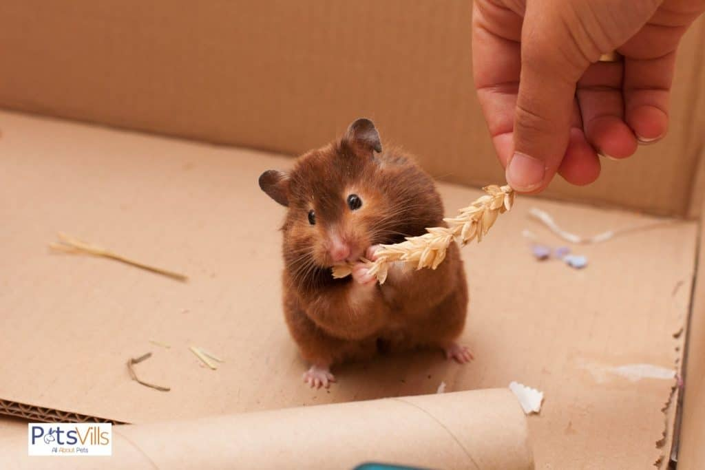 a hamster trying to eat food other than carrots