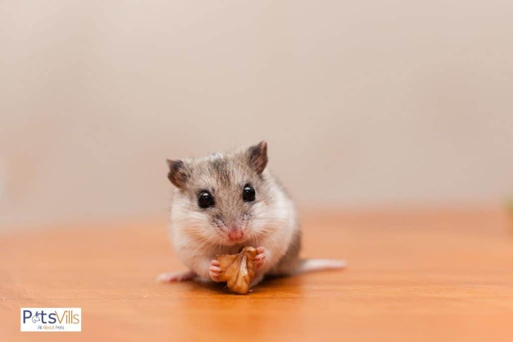 a hamster eating walnut