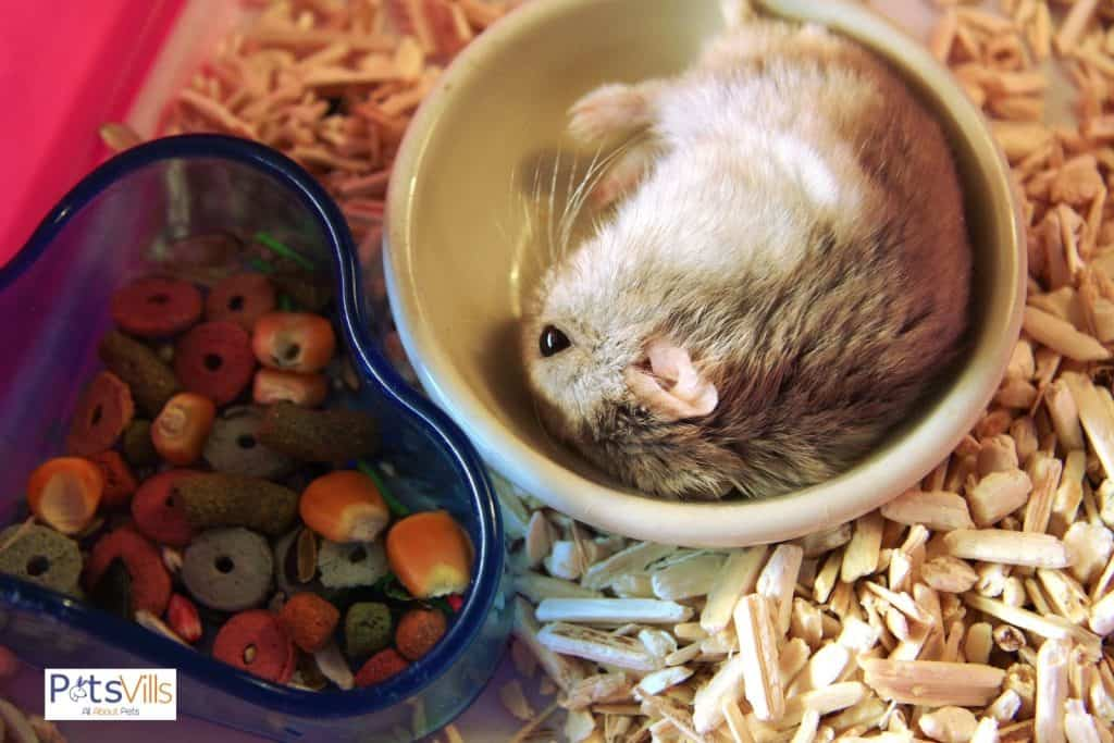 a hamster with enough food but he is not eating