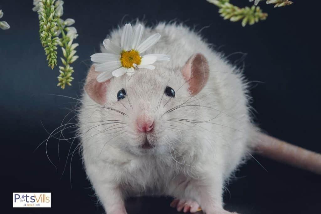 a cute white rex rat