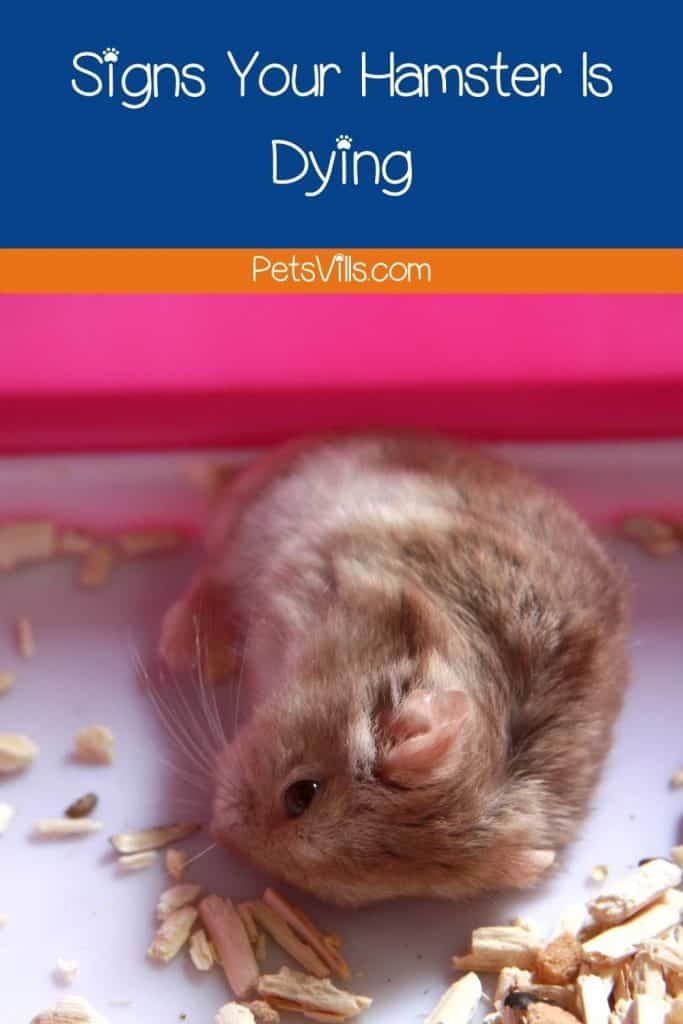 a hamster in a bad condition
