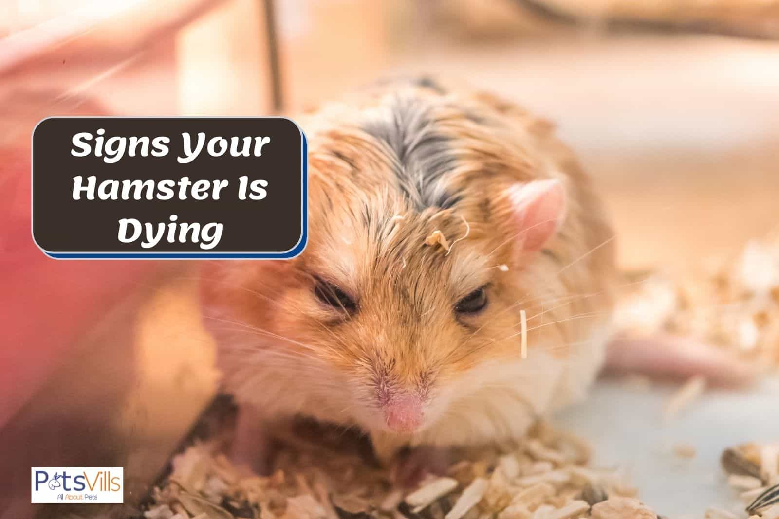 a sick hamster, signs of hamster dying