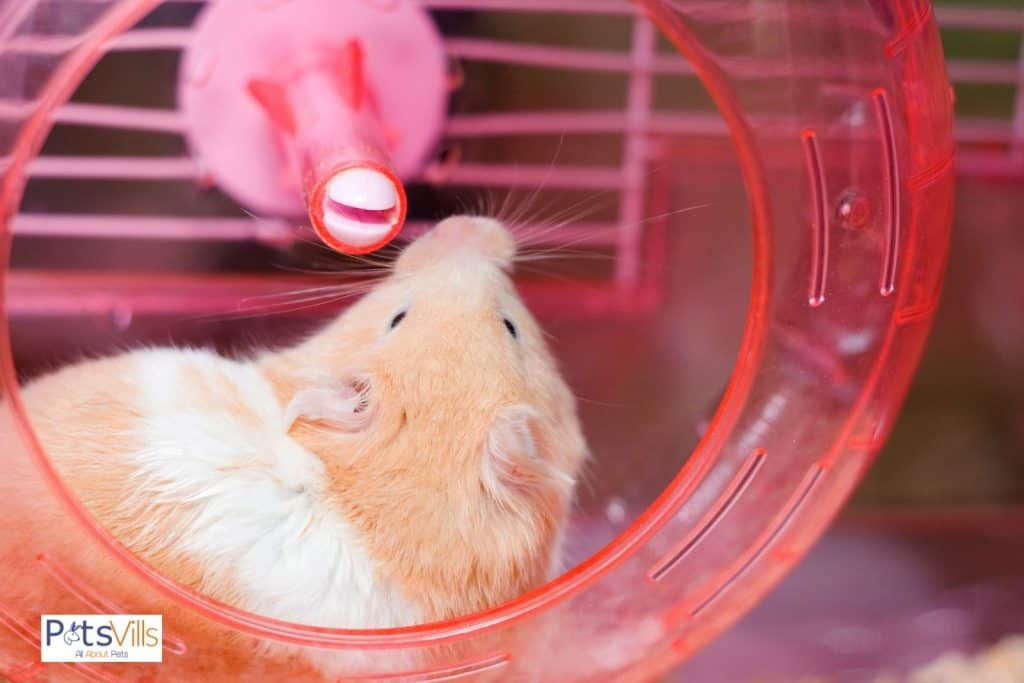 a hamster not using wheel, as it is jammed