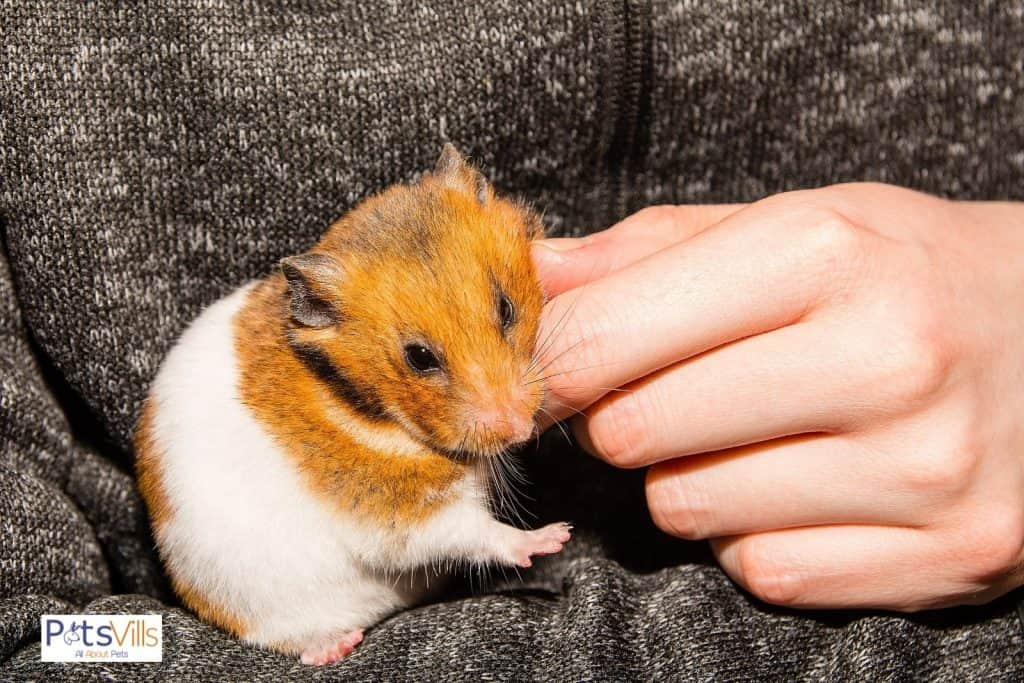 too much adorable hamster