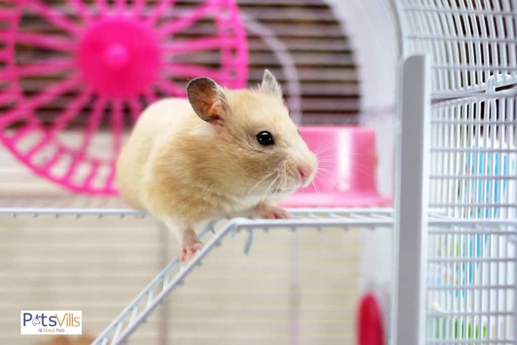 a hamster playing in a cage, to be funny is one of the reasons why hamsters are good pets