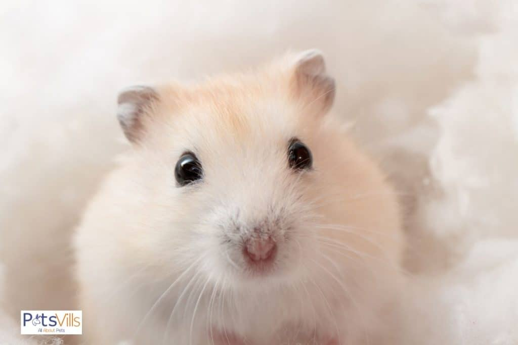 a cute hamster, to be naturally clean is a reason why are hamsters good pets