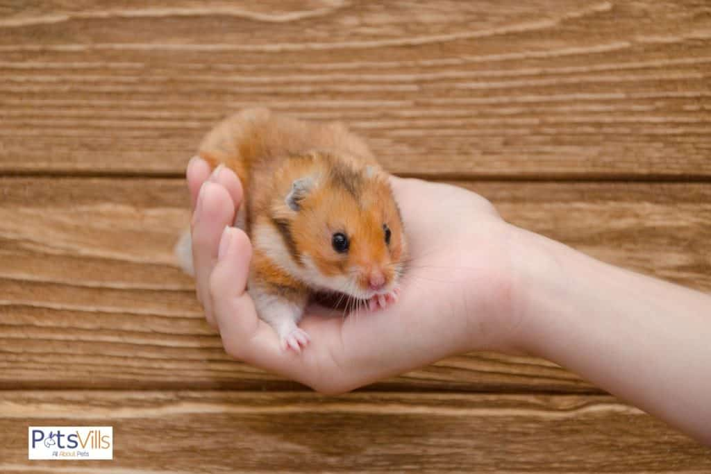 a hamster on a hand of her owner