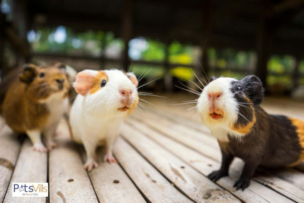 hamsters in different colors