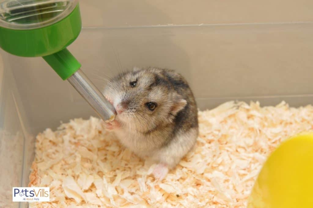 hamster drinking water, train if hamster not drinking water
