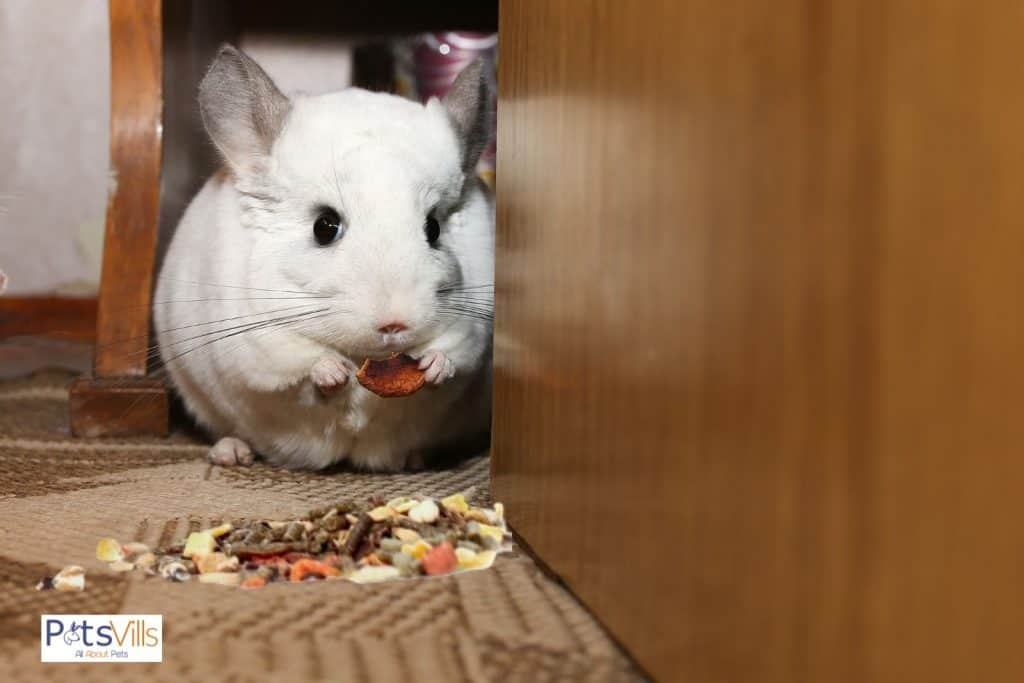 a chinchilla with foods that they should avoid so can chinchillas eat guinea pig food?