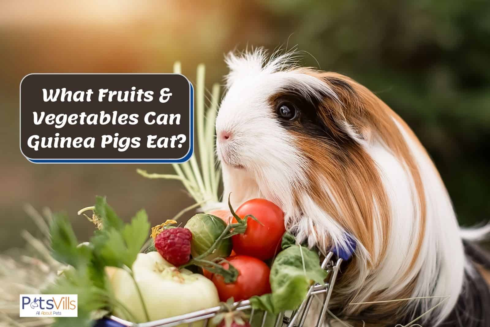 guinea pig with fruits and vegetables he should eat