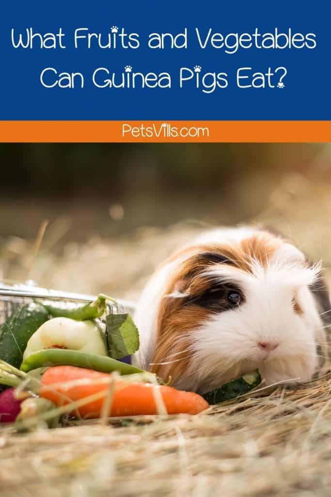 fruits and vegetables, in front of guinea pig, what fruits and vegetables can guinea pigs eat
