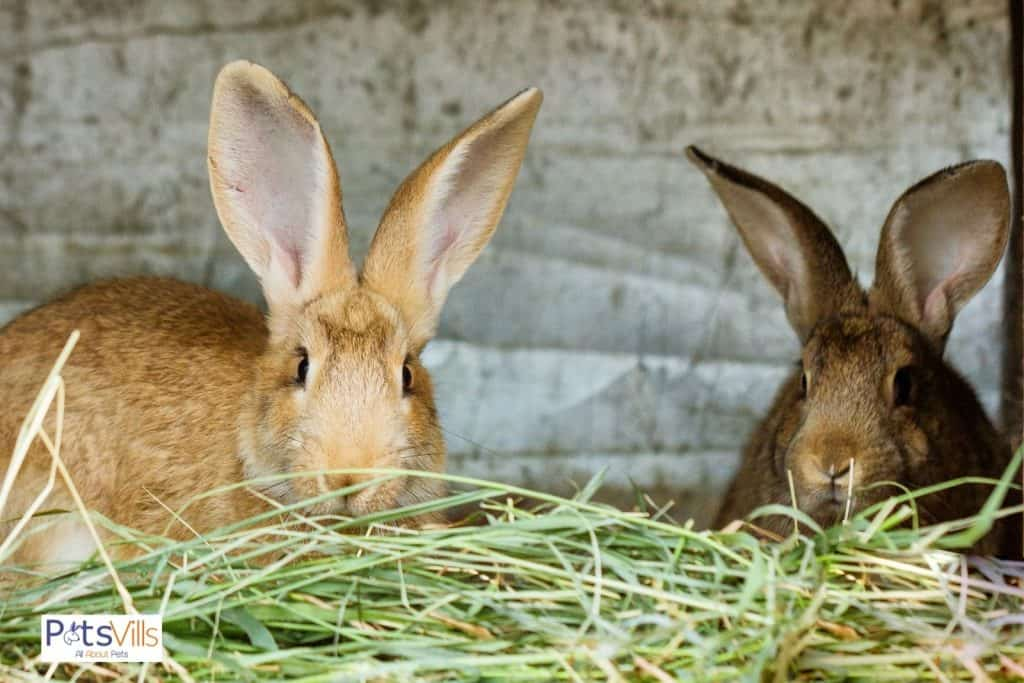 a pair of continental giant rabbit eating hay