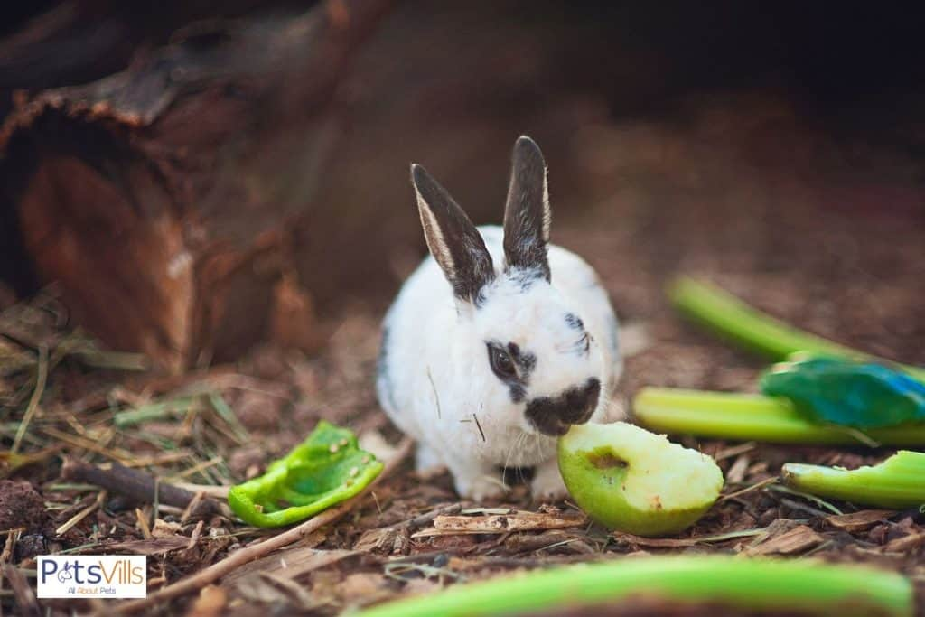 a dutch rabbit eating vegetables
