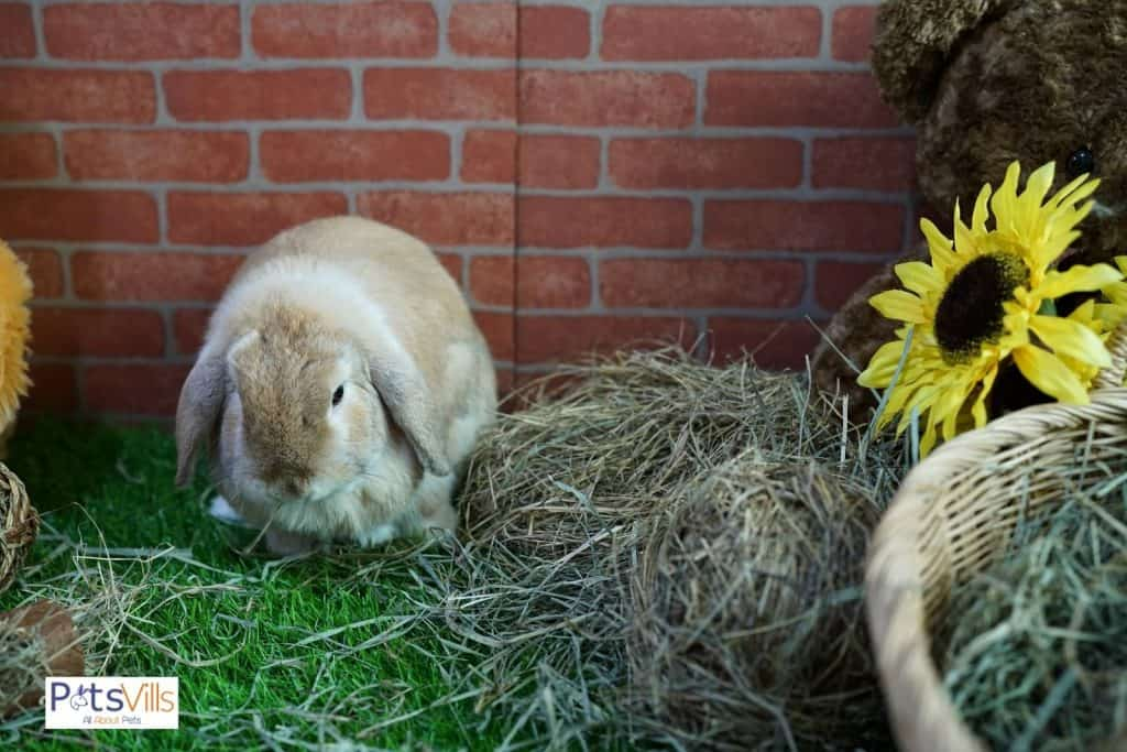 a holland lop rabbit eating timothy hay