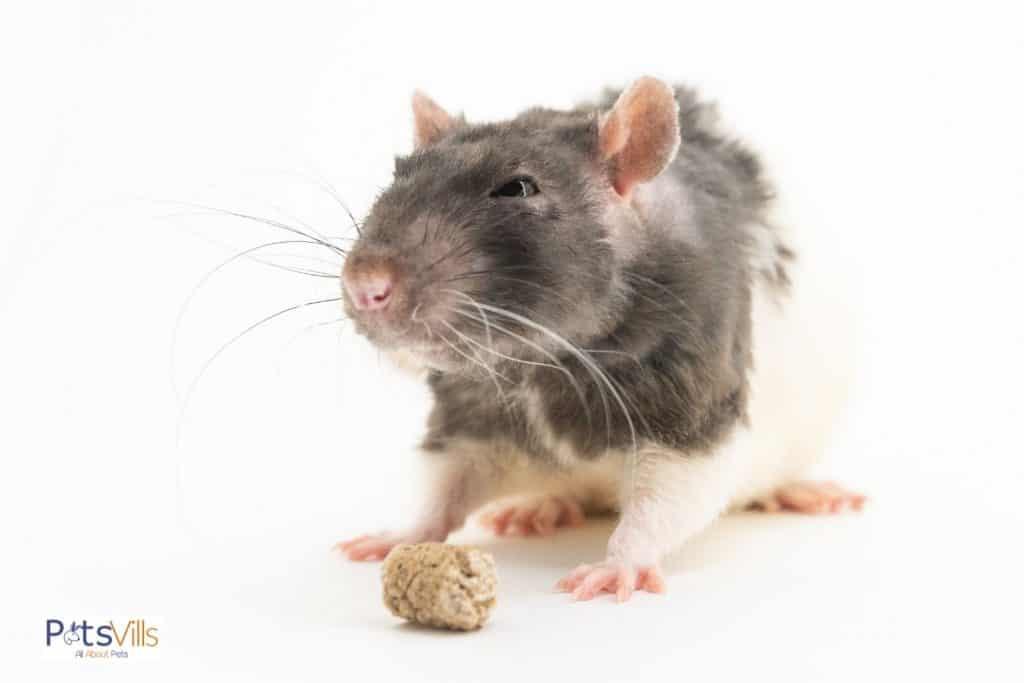 a rex rat eating pellet