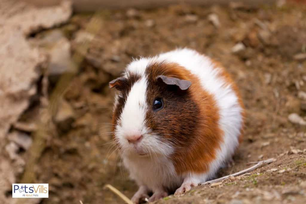 a cute guinea pig in ground, what is guinea pigs life expectancy