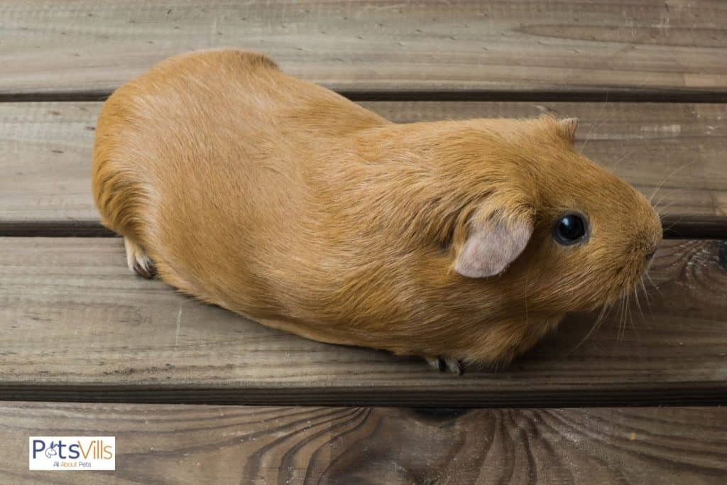 a guinea pig sit on a table