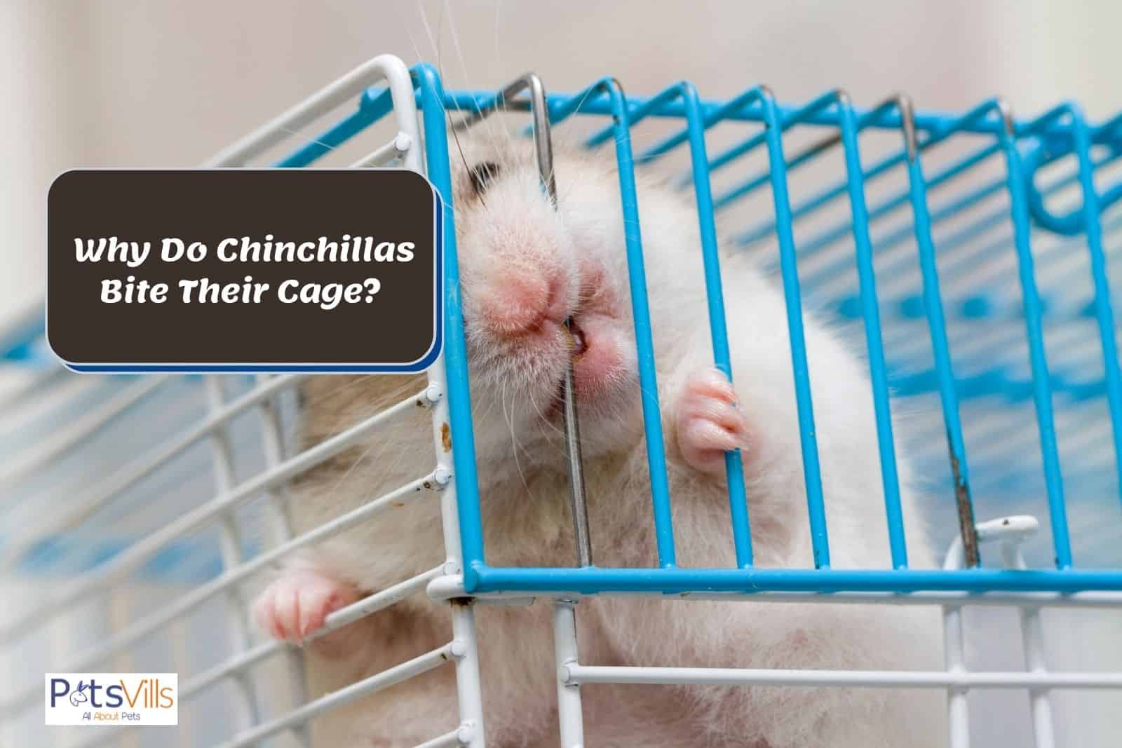 a chinchilla trying to bite cage, why do chinchillas bite their cage